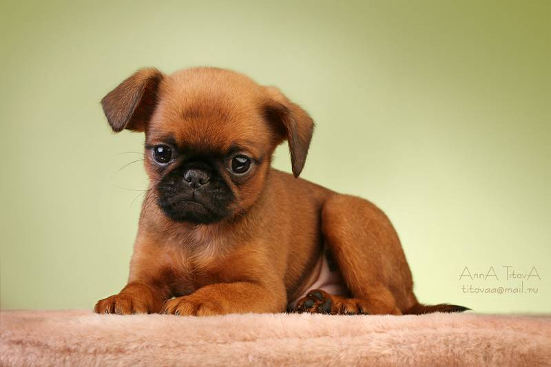 Описание породы собак брюссельский гриффон с отзывами и фото