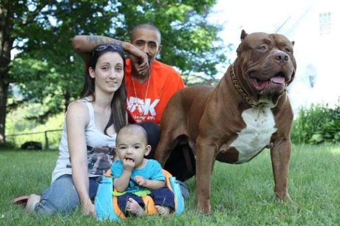 Самый большой в мире пес халк. питбуль халк — самый большой питбультерьер в мире, интересные факты о собаке-гиганте, фото
