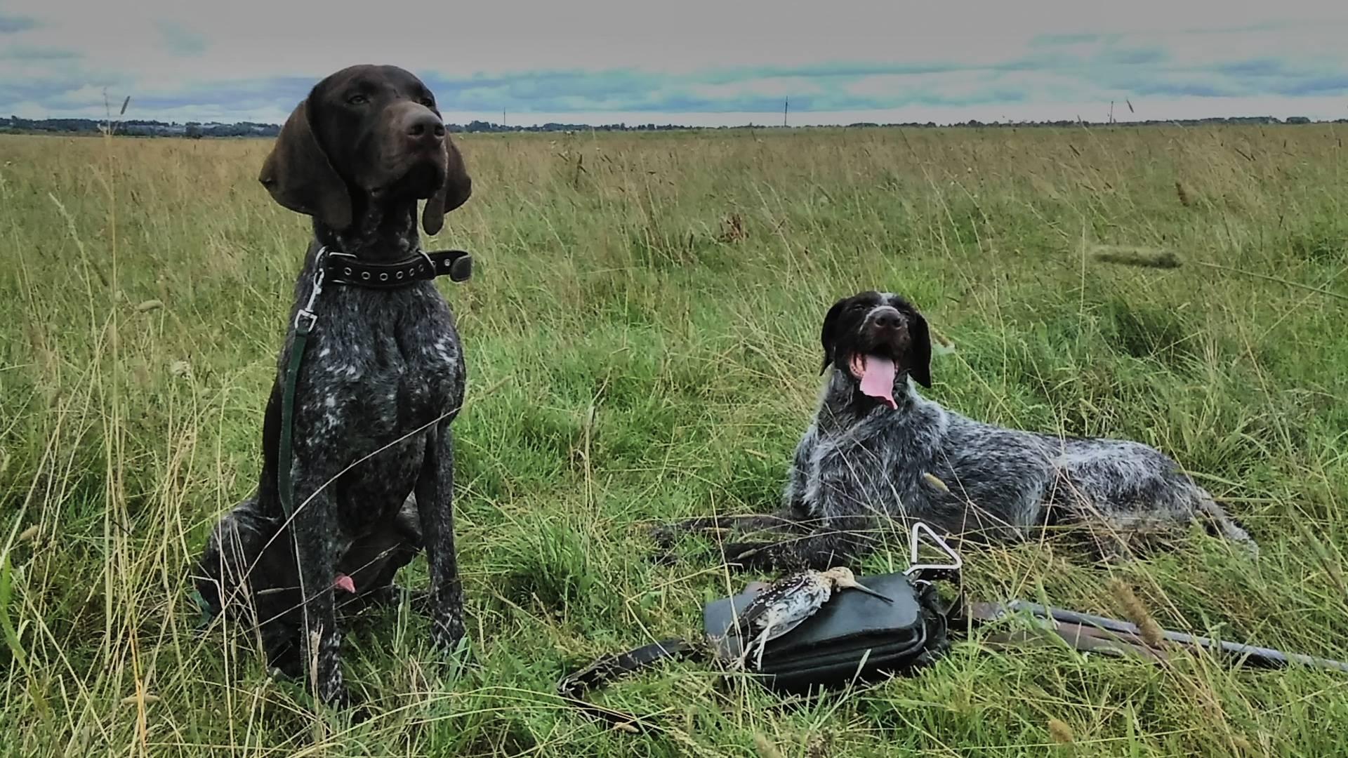 Особенности охоты с собакой породы дратхаар: все о натаске щенков