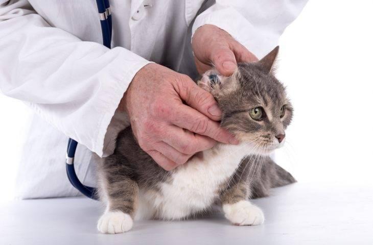 Все о болезнях уха у кошки: симптоматика и простые способы лечения