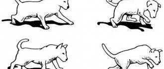 Атаксия у собак и кошек. мир хвостатых - журнал о домашних питомцах.