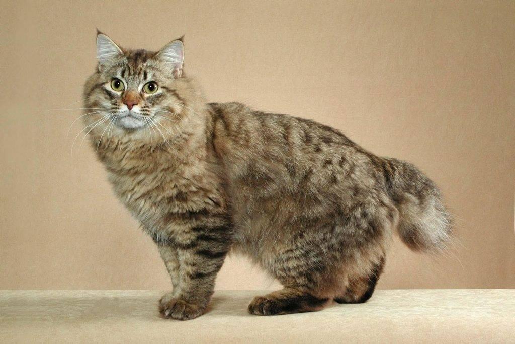 Кошка бобтейл - 77 фото особой, короткохвостой породы кошек