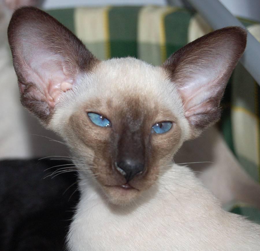 Кошки с большими ушами, порода кошек с большими ушами