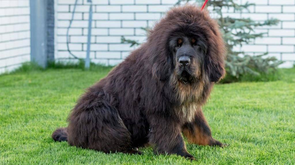 Самые крупные породы собак в мире, фото, видео и описание