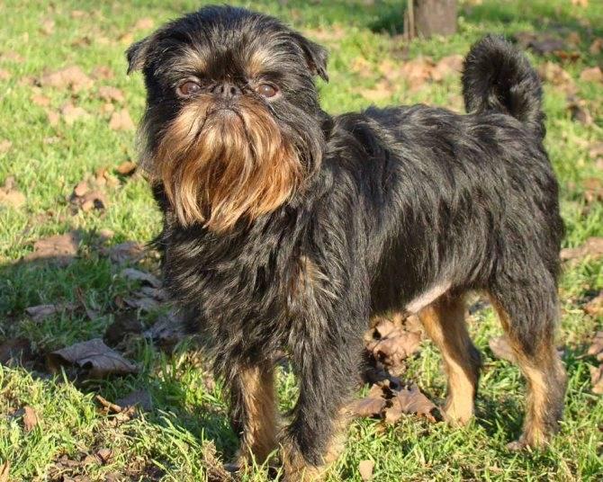 Брюссельский гриффон собака. описание, особенности, уход и цена породы