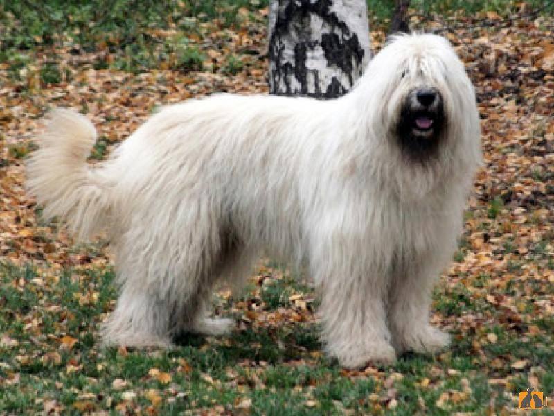 Характеристика собак породы южнорусская овчарка с отзывами и фото