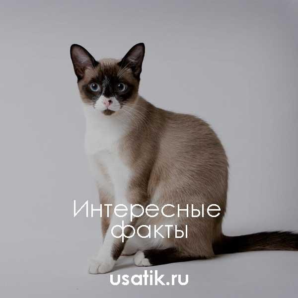 Коты сноу-шу, или кошка-панда: все о породе