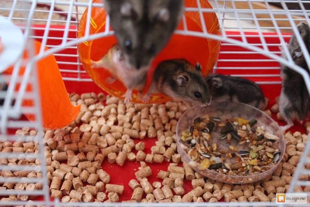 Что едят джунгарские хомяки, а что стоит исключить из рациона грызуна