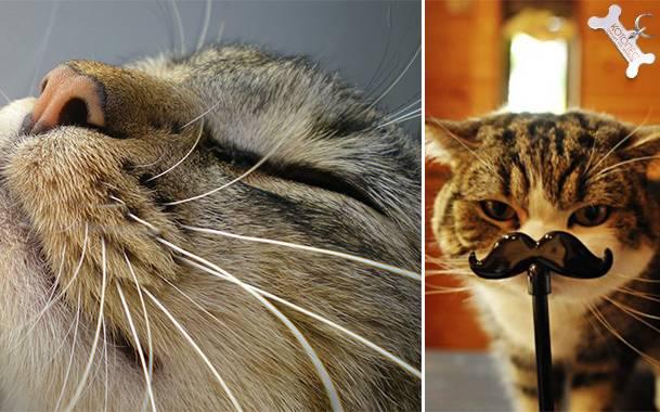 Что будет если отрезать коту усы
