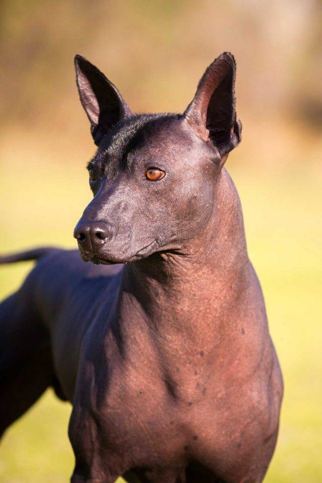 Лысые собаки: фото, порода, мексиканская, китайская хохлатая