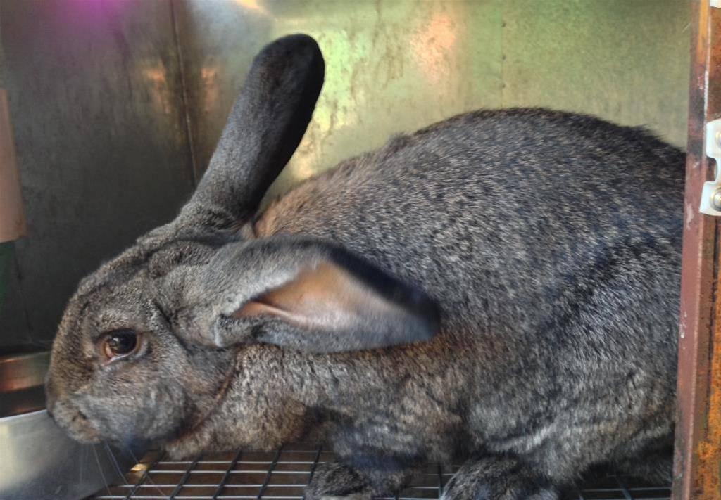 Породы кроликов великанов: выращивание и кормление