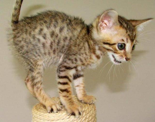 Кошка серенгети: описание породы и особенности характера