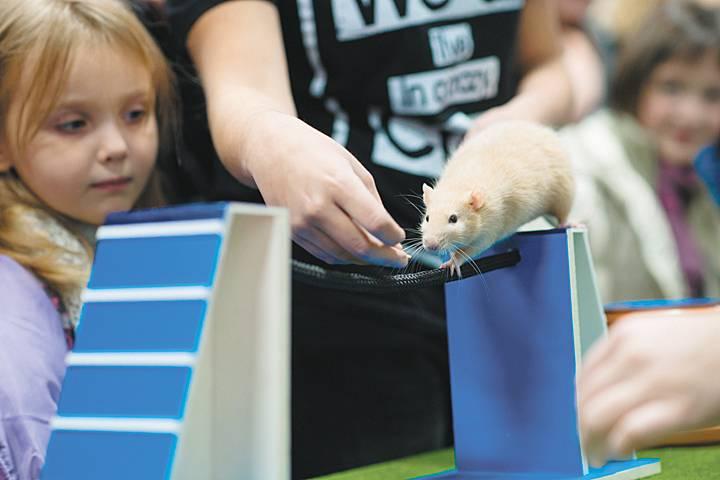 Приручение декоративной крысы к рукам: что делать, если она боится, кусается до крови