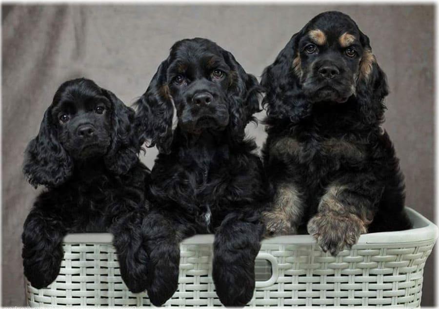 Английский кокер спаниель собака. описание, уход и цена английского кокер спаниеля