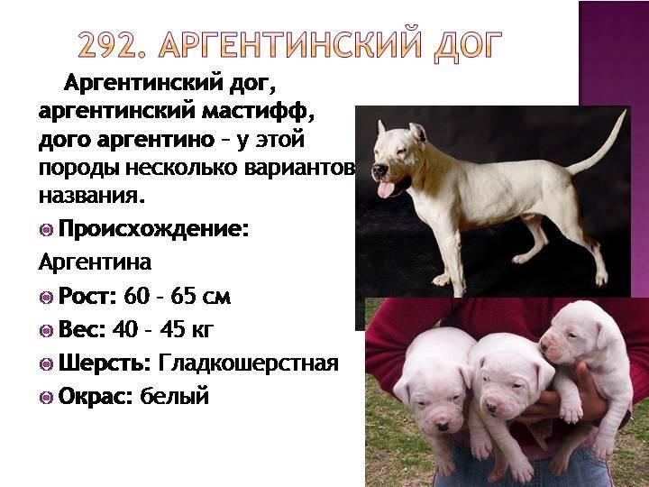 Аргентинский дог – белоснежный потомок псов кордовы