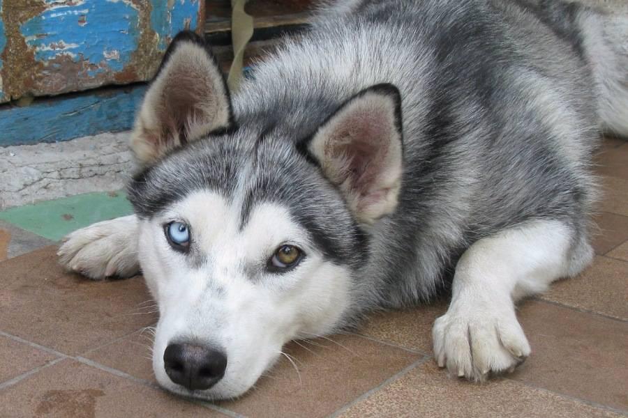 Хаски с разными глазами: почему так бывает и какими должны быть - карими, зелеными, серыми и бывают ли разноглазыми щенки