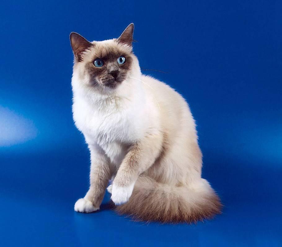 """Бирманская кошка: все о породе """"священная бирма"""""""