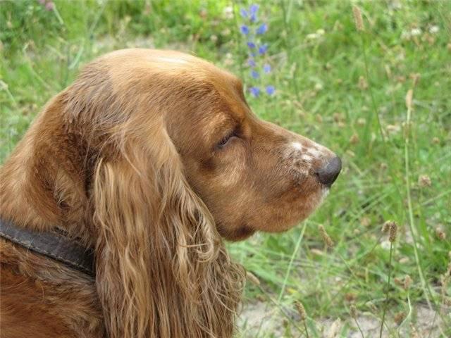 Русский охотничий спаниель собака. описание, особенности, уход и цена породы | sobakagav.ru