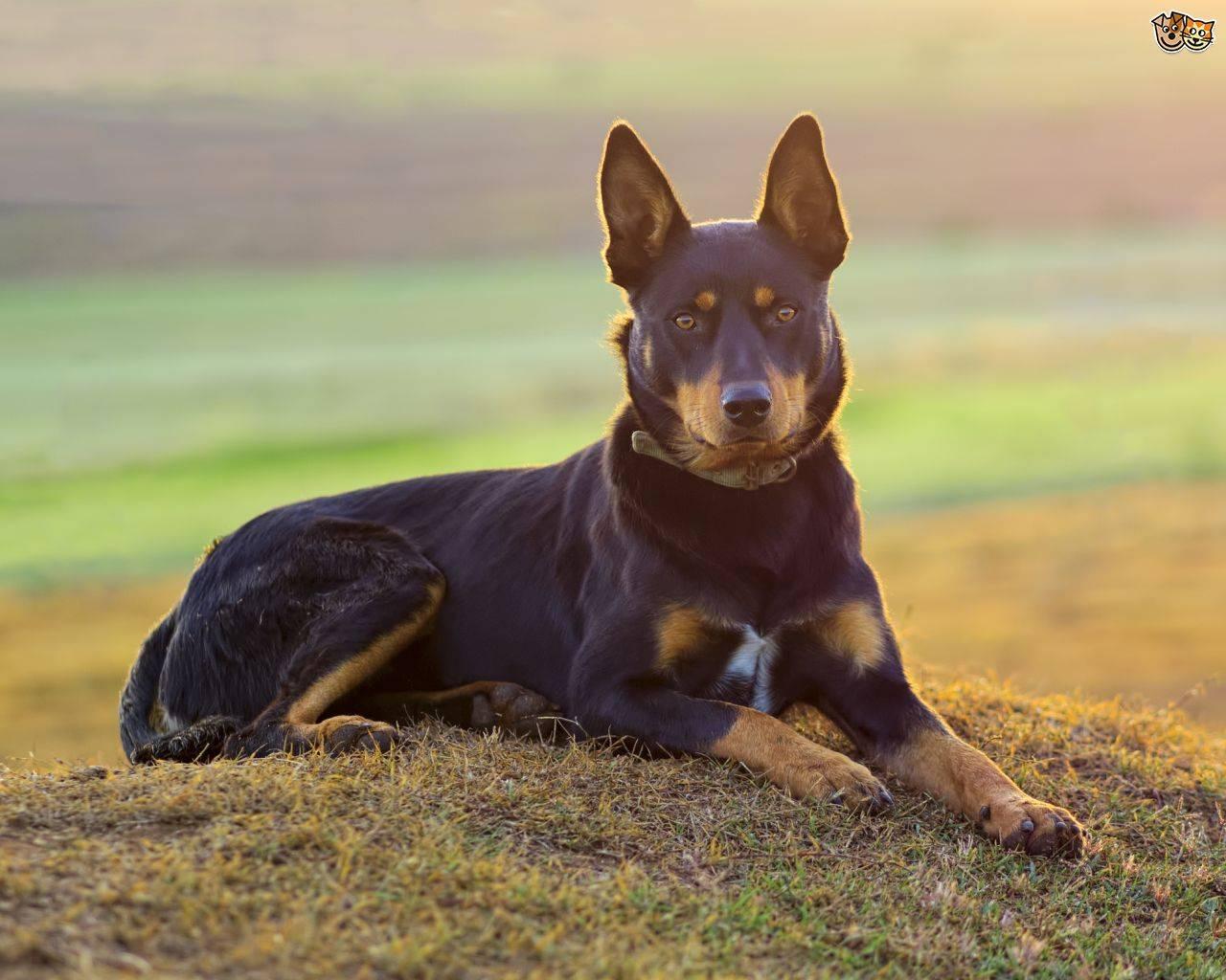 Овчарка аусси и другие австралийские породы собак