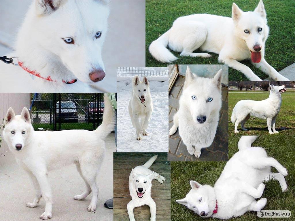 Породы мелких собак с белым окрасом
