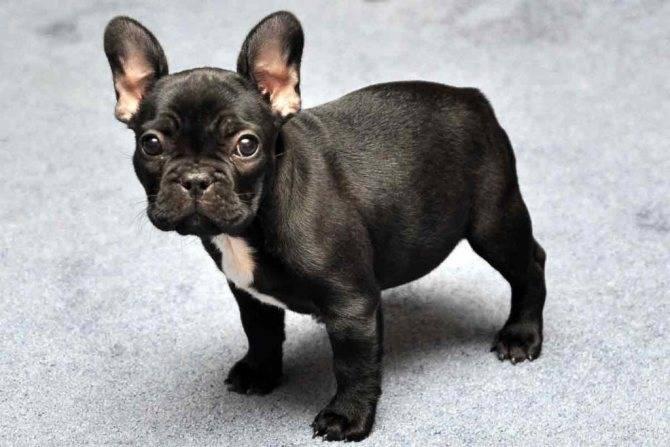Уход за щенками французского бульдога, как убрать агрессию