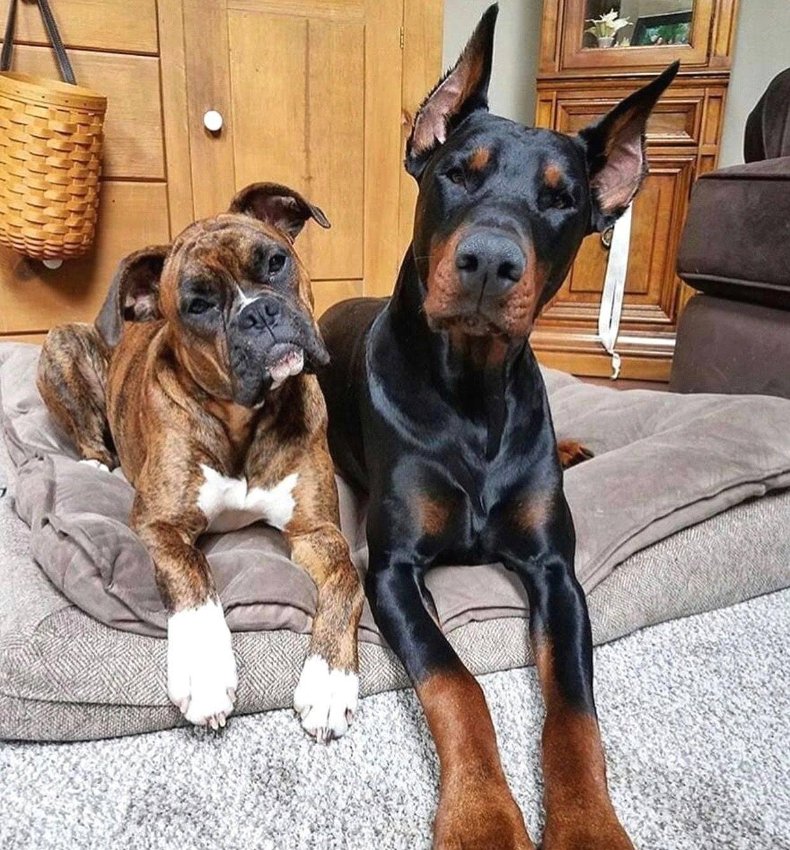 Породы собак которые не пахнут и не линяют, выбираем лучшего питомца для квартиры
