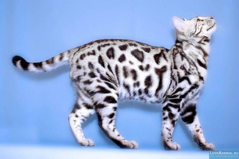 Бенгальская кошка – особенности необычной породы