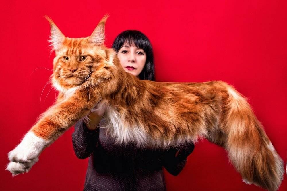 Мейн-кун — описание стандарта породы и характера взрослых кошек