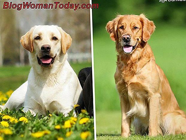 Золотистый лабрадор-ретривер: фото собак, особенности характера, внешний вид, параметры, здоровье, правила ухода и выбор щенка