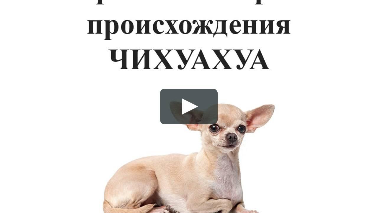 Чихуахуа - подробное описание и фото - породы собак