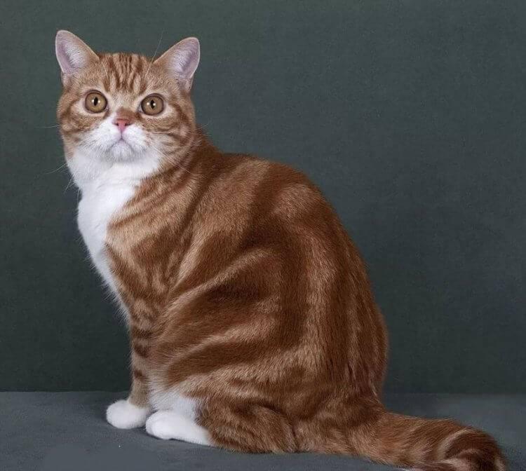 Варианты окраса тайских кошек
