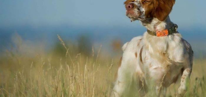 Бретонский эпаньоль (эпаньол бретон): описание породы собак с фото, видео