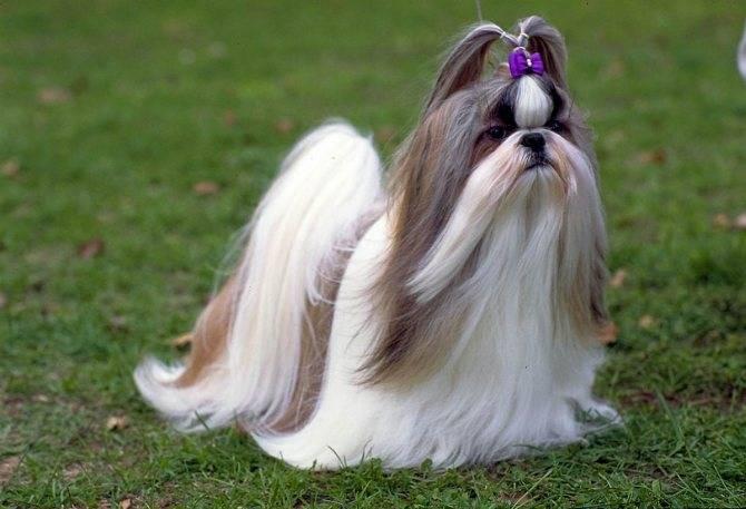 Очаровательный и веселый: условия содержания и уход за собакой ши-тцу