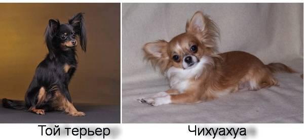 Той-терьер и чихуахуа: отличия питомцев и как выглядят на фото, а также кого лучше выбрать для содержания в квартире
