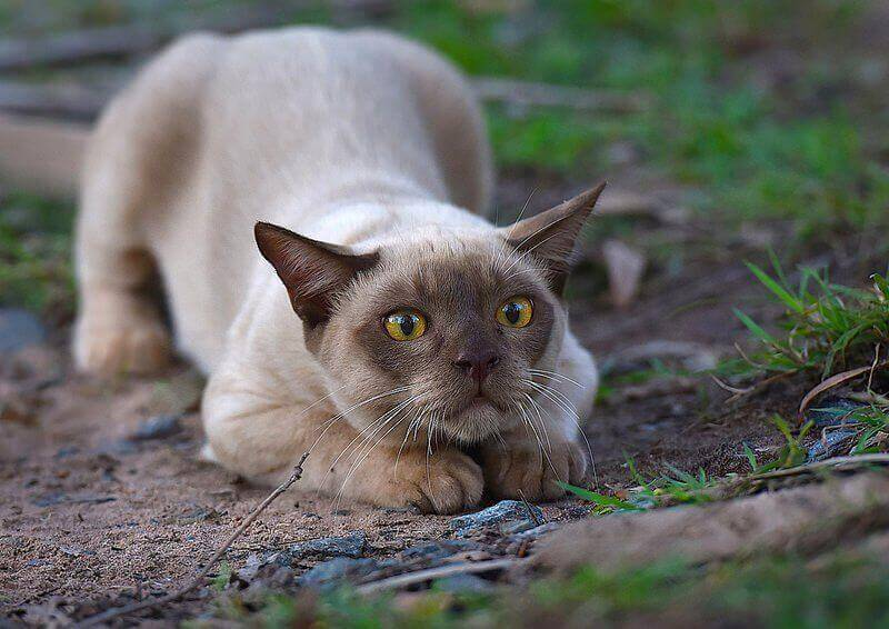 Характер бурманской кошки и стандарт породы