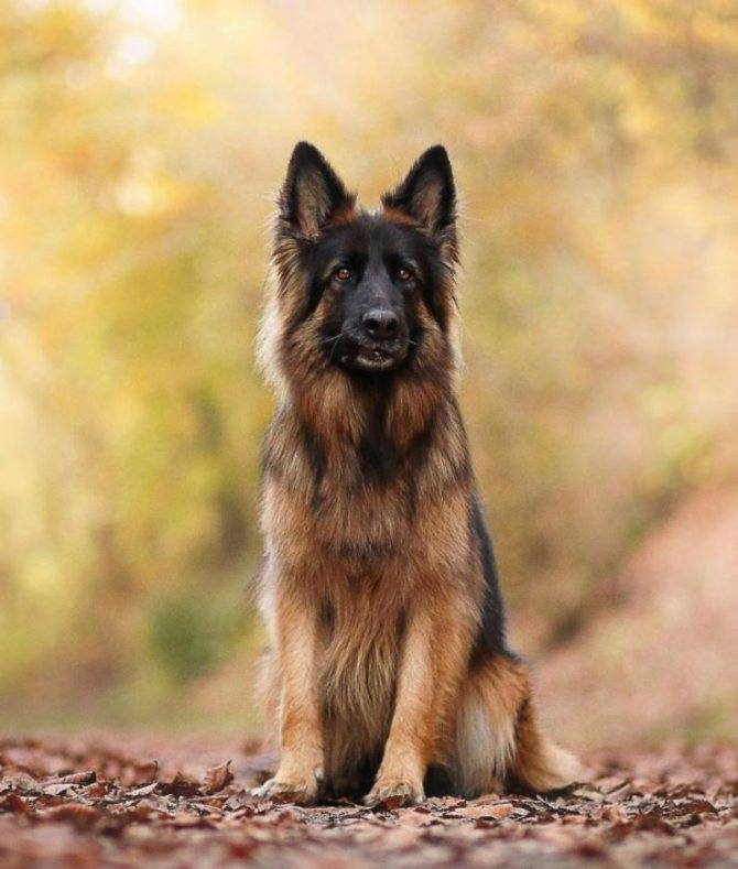 Отзывы владельцев о породе собак «немецкая овчарка»: плюсы и минусы питомцев и можно ли содержать в квартире