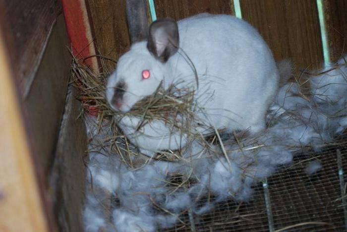 Беременность и роды у кроликов. течение, особенности, проблемы и ошибки заводчиков