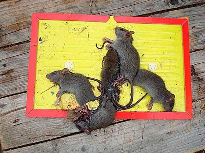 Кошки крысоловы порода фото и описание, кот похожий на крысу