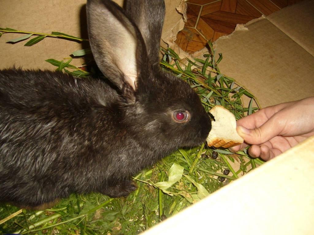 Можно ли кроликов кормить хлебом и как правильно это делать?