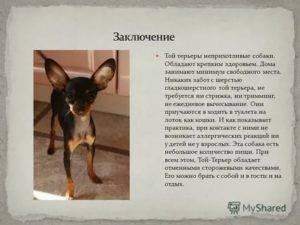 Той-терьер длинношерстный (русский или московский)