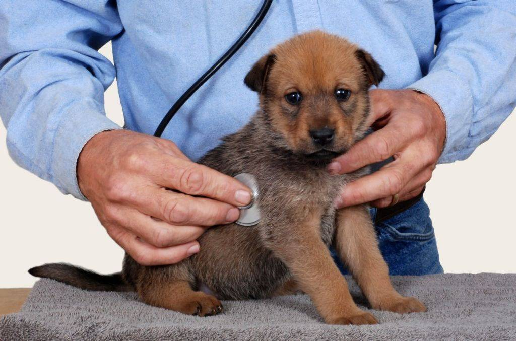 Почему собака кашляет, будто подавилась: причины и методы лечения