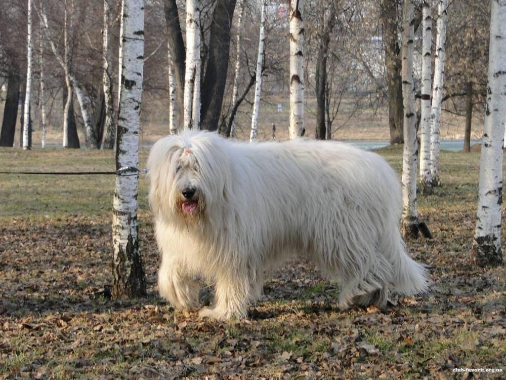 Южнорусская овчарка: фото, описание породы, щенки, дрессировка