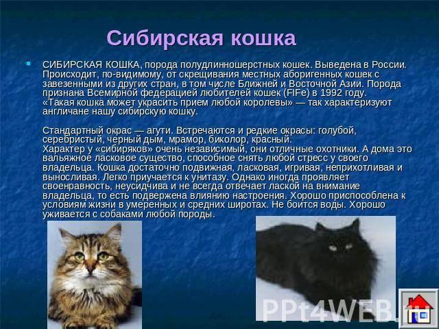 Кошки гавана браун: историческое происхождение, особенности породы и ее основные характеристики