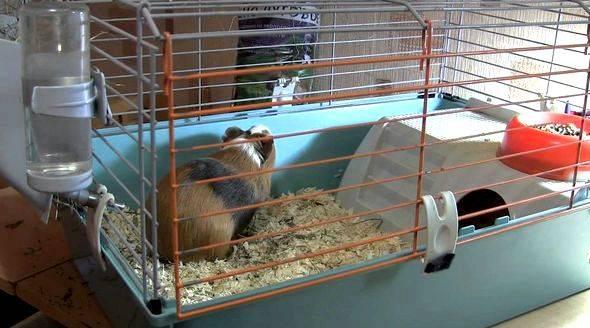 Уход, питание и содержание морской свинки в домашних условиях – основные правила и полезные рекомендации