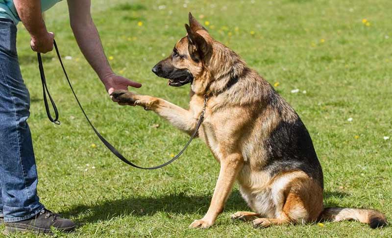 Как научить собаку давать лапу?