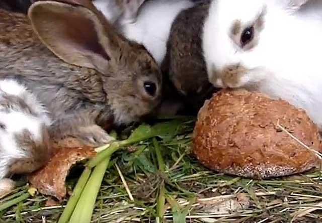 ᐉ можно ли кормить кроликов хлебом? хлеб кролям: польза или вред? - zooon.ru