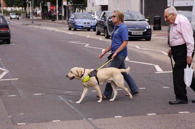 Дрессировка щенка лабрадора: воспитание, обучение собаки правилам и командам в домашних условиях