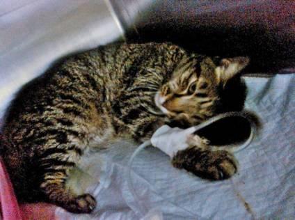 Гемобартонеллез кошек – симптомы, диагностика, лечение