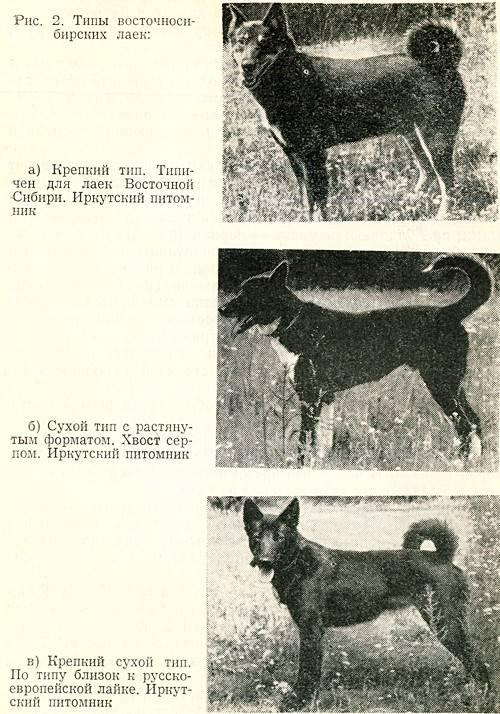 Восточно-европейская овчарка – близнец немецкой овчарки или самостоятельная порода?