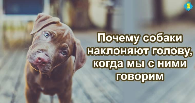 Зачем собаки наклоняют голову, когда слушают хозяина | gafki.ru | яндекс дзен